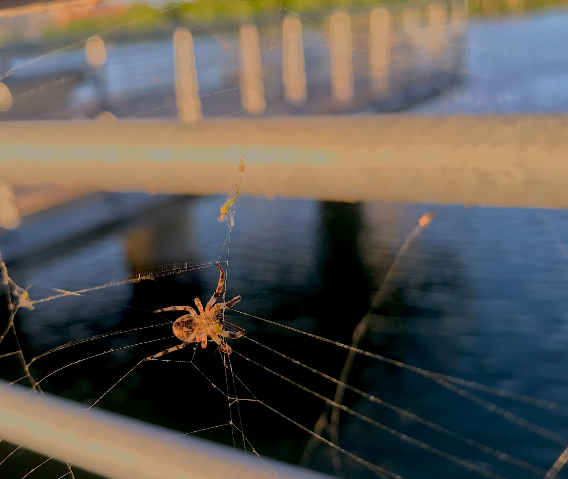 Big Spider in a web hanging from a rail with river in background