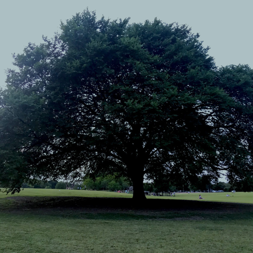 The large, beautiful oak tree number 9037